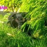 Tiana, Chiot à adopter