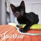 Sparrow, Chaton européen à adopter