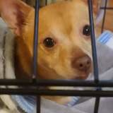 Rillow, Chien chihuahua à adopter
