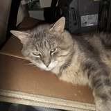 Mistigri, Chat à adopter