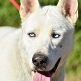 Volt, Chien berger blanc suisse, husky sibérien à adopter