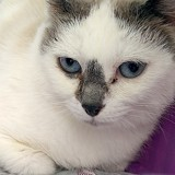 Pixie, Chat snowshoe à adopter