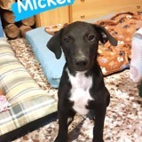 Mickel (101 huellas), Chiot à adopter