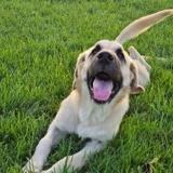 Hugo, Chiot à adopter