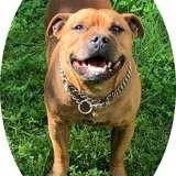 Jarod, Chien staffordshire bull terrier à adopter