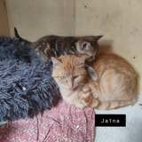 Jaïna, Chat européen à adopter