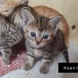 Hoani, Chaton européen à adopter