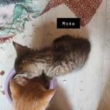 Moea, Chaton européen à adopter