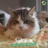 Sultane, Chat à adopter