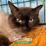 Santiago, Chat à adopter