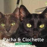 Pacha et clochette, Chat à adopter