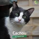 Cachou, Chat à adopter