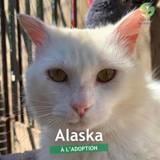 Alaska, Chat à adopter