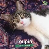 Loupin, Chat à adopter
