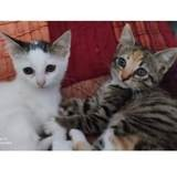 Saphira et suzie, Chaton à adopter