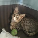 Prunelle, Chaton à adopter