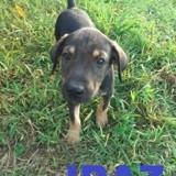 Iraz, Chiot à adopter