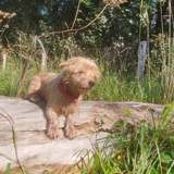 Tinele, Chien yorkshire terrier à adopter