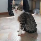Onyx, Chaton européen à adopter