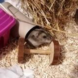 Hamtaro, Animal à adopter