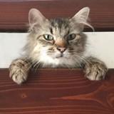 Comtesse, Chat sibérien à adopter