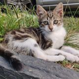 Tigrou, Chaton à adopter