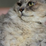 Scar, Chat à adopter
