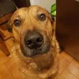 Fidj, Chiot beauceron à adopter