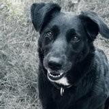 Violette, Chien labrador retriever à adopter