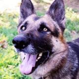 Daff, Chien berger allemand à adopter