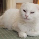 Nerri, sublime chatte blanche à poils longs, Chat européen à adopter