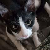 Sylver, Chaton à adopter