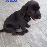 Jalo, Chiot à adopter