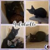 Galadrielle, Chat européen à adopter