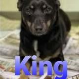 King, Chien chihuahua, teckel à adopter