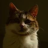 Astrid, Chat européen à adopter