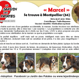 Marcel, Chiot border collie à adopter