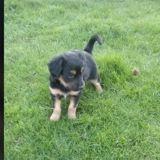 Stuane, Chiot à adopter
