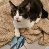 Silky, Chaton à adopter
