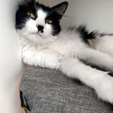Samui, Chat européen à adopter