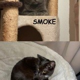 Feline et smoke, Chat européen à adopter