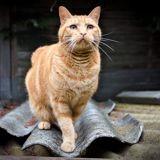 Soho, Chat européen à adopter