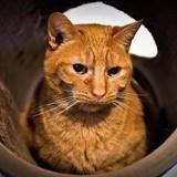Mojito, Chat européen à adopter