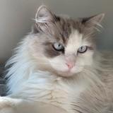 Guerlain, Chat européen à adopter