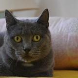 Nouchka, Chat européen à adopter