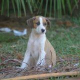 Siloë, Chiot à adopter