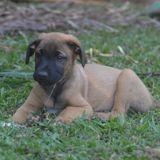Livaï, Chiot à adopter