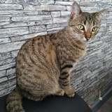 Rana, Chat européen à adopter