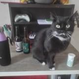 Phoebe, Chat européen à adopter