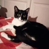 Sofia, Chat européen à adopter